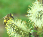 abeille-nivelles-1