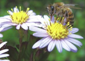 abeille-nivelles-2